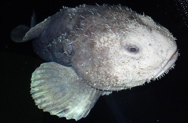 Рыба-капля: описание, где обитает, как выглядит, чем питается