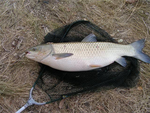 Ловля белого амура на поплавочную удочку: наживки, выбор места для ловли