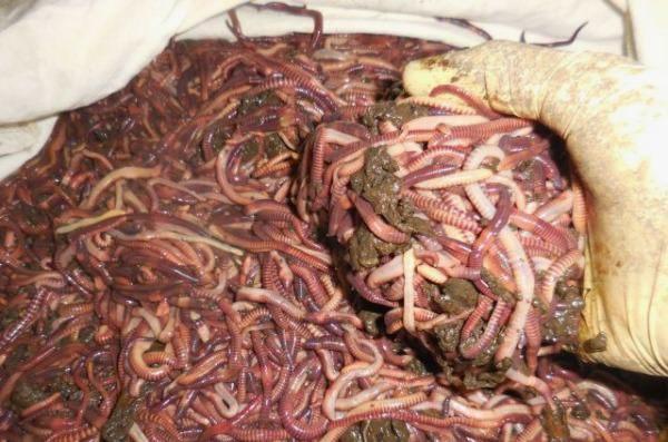 Разведение червей в домашних условиях для рыбалки