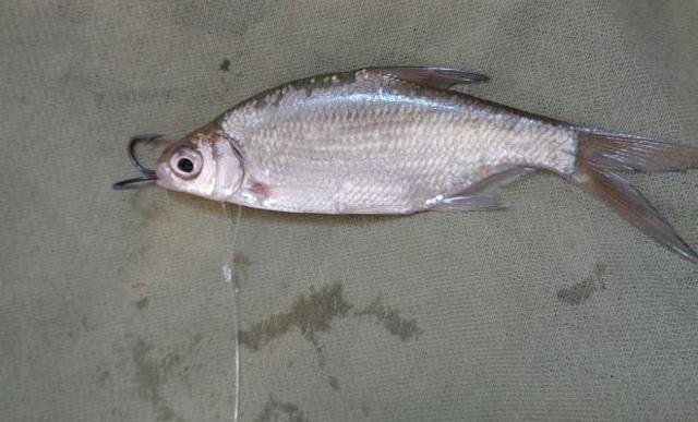 Как правильно насадить живца на жерлицу: подробная инструкция, советы от рыбаков