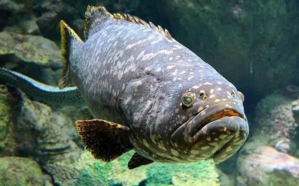 Рыба групер: описание, среда обитания, полезные свойства, рецепты