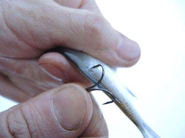 Насадка живца - как правильно насадить живца крючек