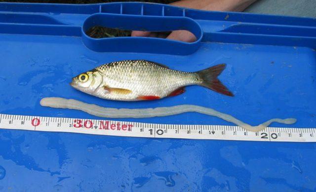 Солитер в рыбе: можно ли есть солитерную рыбу, опасность для человека