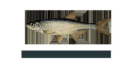 Рыба уклейка: фото и описание, где водится, как ловить