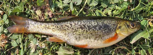 Рыба гольян: описание с фото, внешний вид, среда обитания, рыбалка