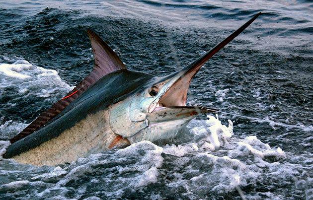 Рыба марлин: описание, где водится, чем питается, размножение