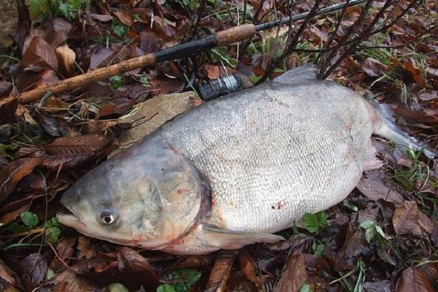 Ловля толстолобика зимой со льда: снасти и наживки, на что и где ловить