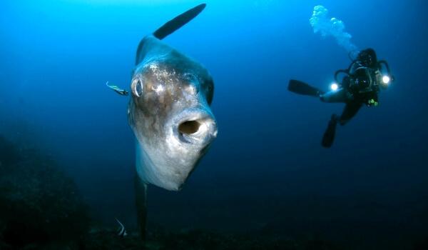 Луна-рыба: описание с фото, где водится, чем питается