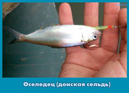 Оселедец (донская сельдь): виды оселедцев, особенности, рыбалка