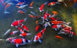 Карп кои: описание с фото, породы, содержание в аквариуме