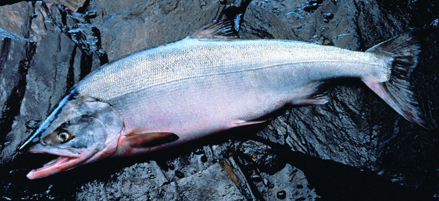 Как выглядит рыба кета: ареал обитания, полезные свойства