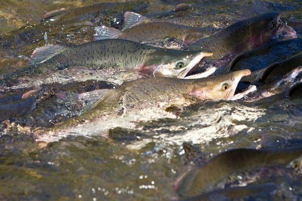 Красная рыба: виды с фото и названиями, особенности, ареал обитания