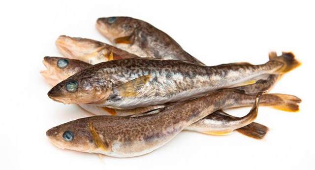 Рыба семейства тресковых: виды и описание, внешний вид, среда обитания