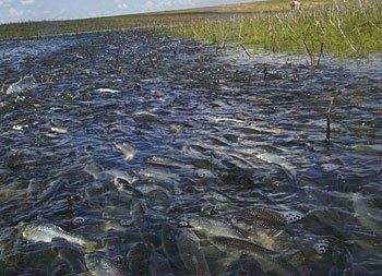 Когда плотва идет на нерест, температура воды