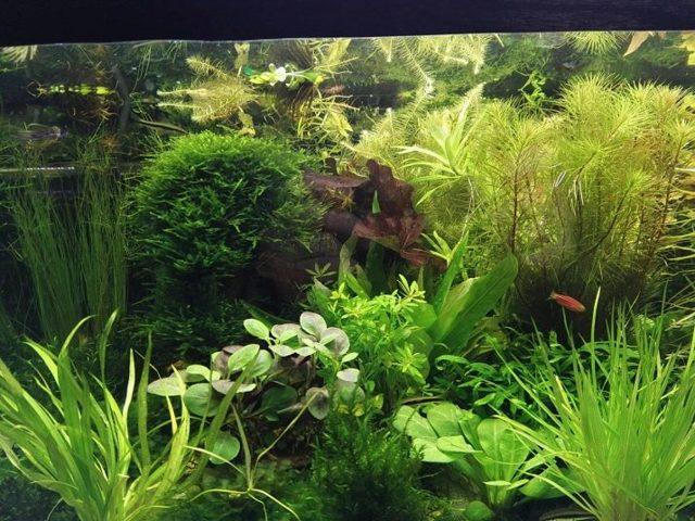 Аностомус: описание, содержание и уход в аквариуме, совместимость