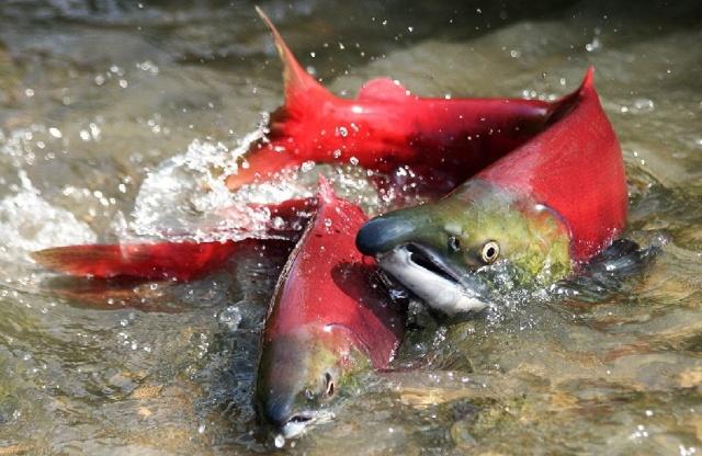 Ловля лосося на спиннинг и нахлыстом, обзор снастей и техника ловли