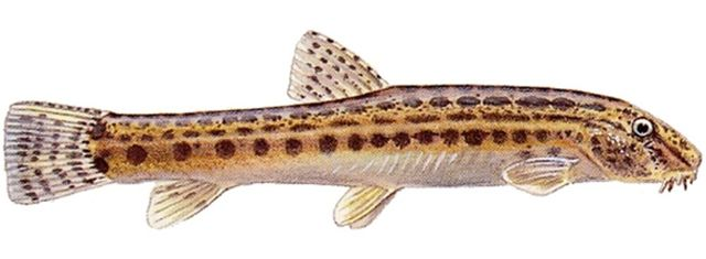 Рыба щиповка: внешний вид, описание с фото, где водится