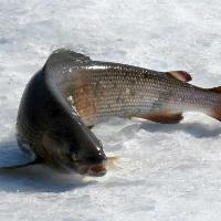 Зимняя ловля хариуса: снасти и мормышки, выбор места ловли