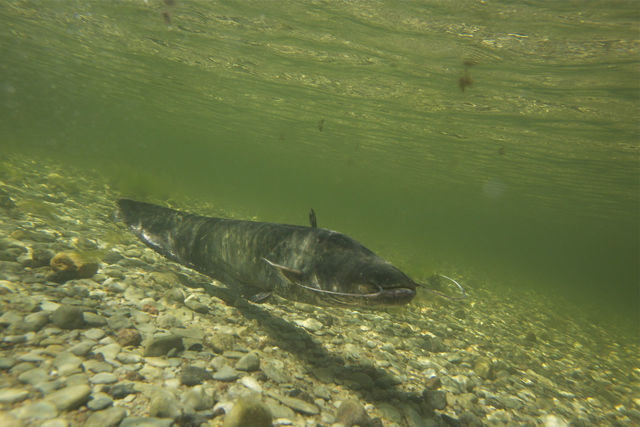 Сом: описание рыбы, места обитания, виды, что ест