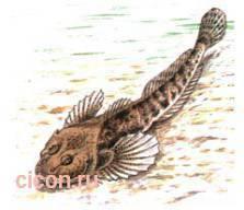 Подкаменщик обыкновенный: описание, среда обитания, красная книга