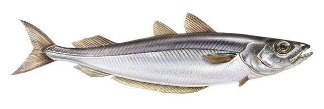 Рыба минтай: описание, где водится, чем питается, размножение