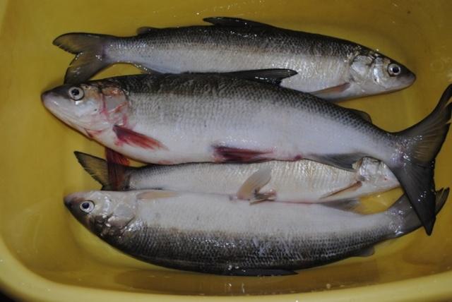 Рыба семейства сиговых, список с названиями и фото, особенности ловли сига