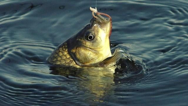Ловля карася осенью на поплавочную удочку, наживки и время клёва