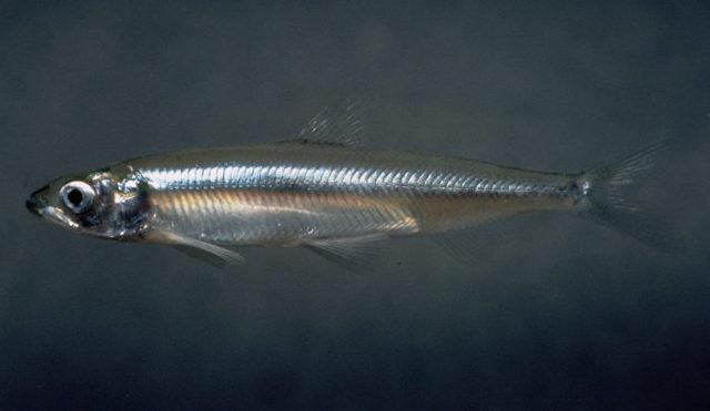 Рыба мойва: описание, где водится, чем питается, виды, польза