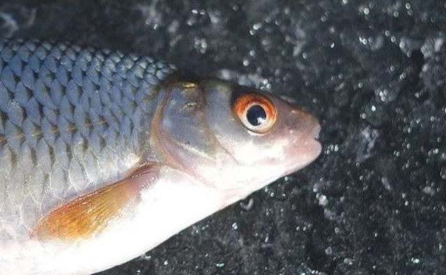 Рыба сорожка (плотва обыкновенная): когда и чем ловить, рецепты