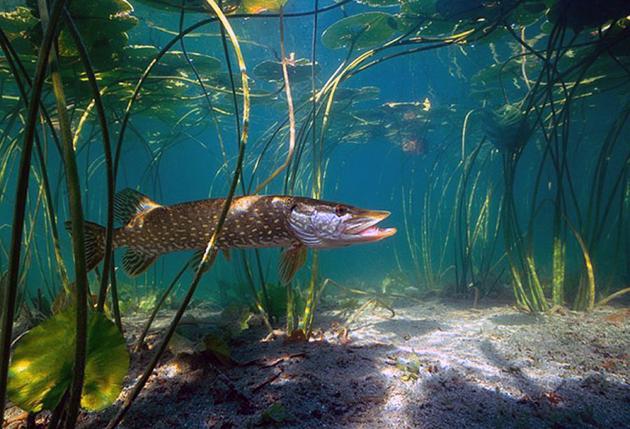 Щука: описание рыбы, где водится, рацион, враги, виды щук