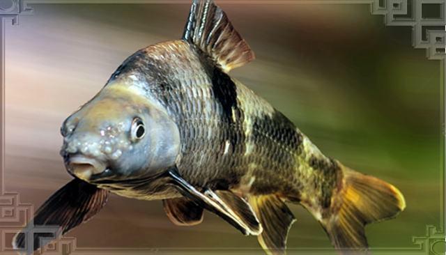 Пескарь: описание рыбы с фото, места обитания, нерест