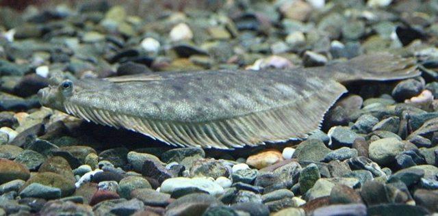 Палтус стрелозубый: описание, среда обитания, рыбалка, как приготовить