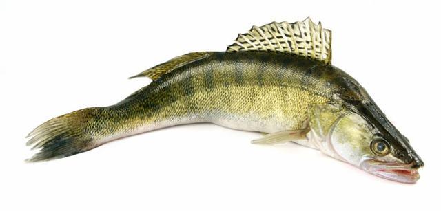 Пресноводные рыбы России: с фото и названиями, речная рыба