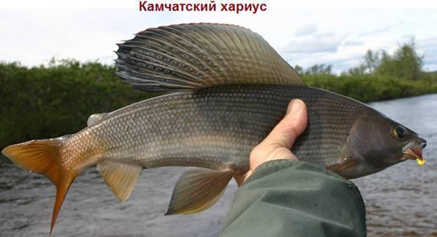 Хариус: описание рыбы, среда обитания, чем питается