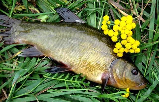 Ловля линя в мае на поплавочную удочку: наживки, техника ловли
