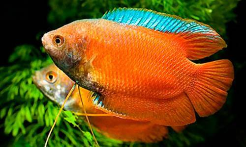 Лялиус: описание рыбки, содержание и уход в аквариуме