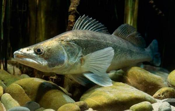 Судак: ловля, описание рыбы, места обитания, виды, что ест