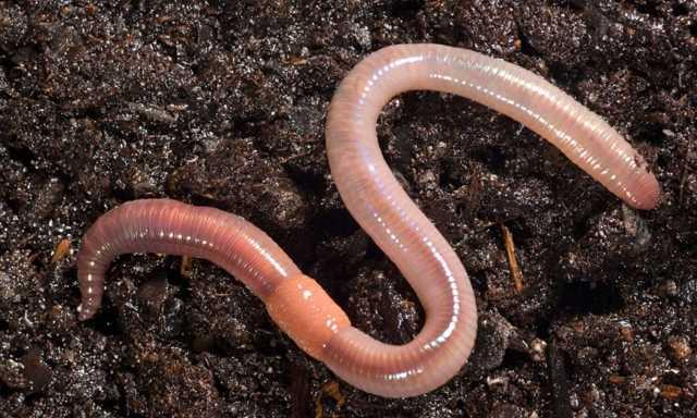 Как правильно насадить червя на крючок (фото и видео)