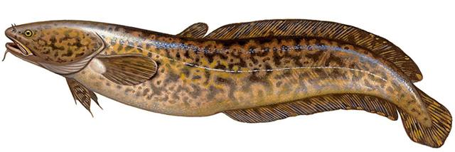 Налим: описание рыбы, места обитания, что ест, нерест