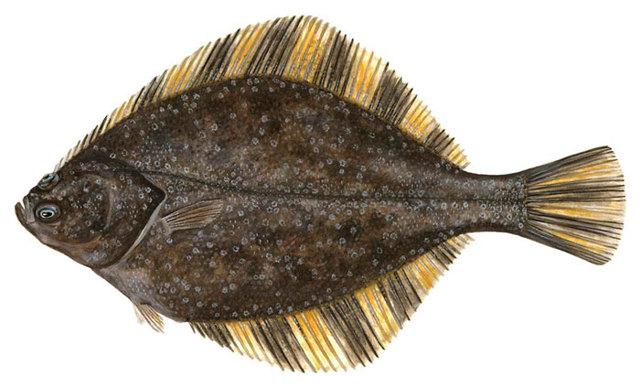 Камбала: среда обитания, рыбалка на камбалу с лодки и берега
