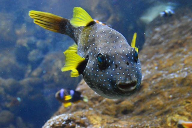 Рыба фугу: как выглядит, где водится, чем питается