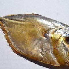 Рыба вомер: описание с фото, где обитает, чем питается