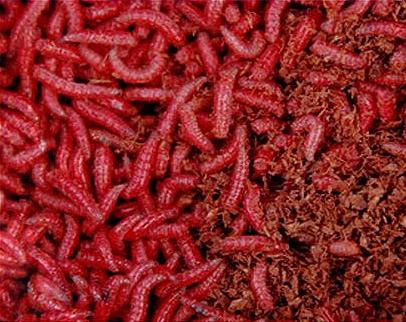 Как окрасить опарыша в красный цвет и ароматизировать в домашних условиях