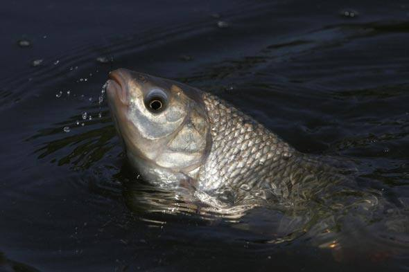 Посол рыбы в домашних условиях разного размера: вкусные рецепты