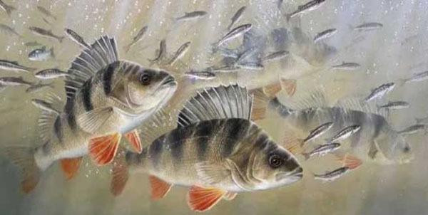 Рыба окунь: описание с фото, виды, чем питается, где обитает